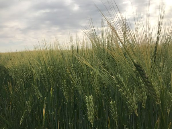 Cebada-Yuriko- semilla ecologica